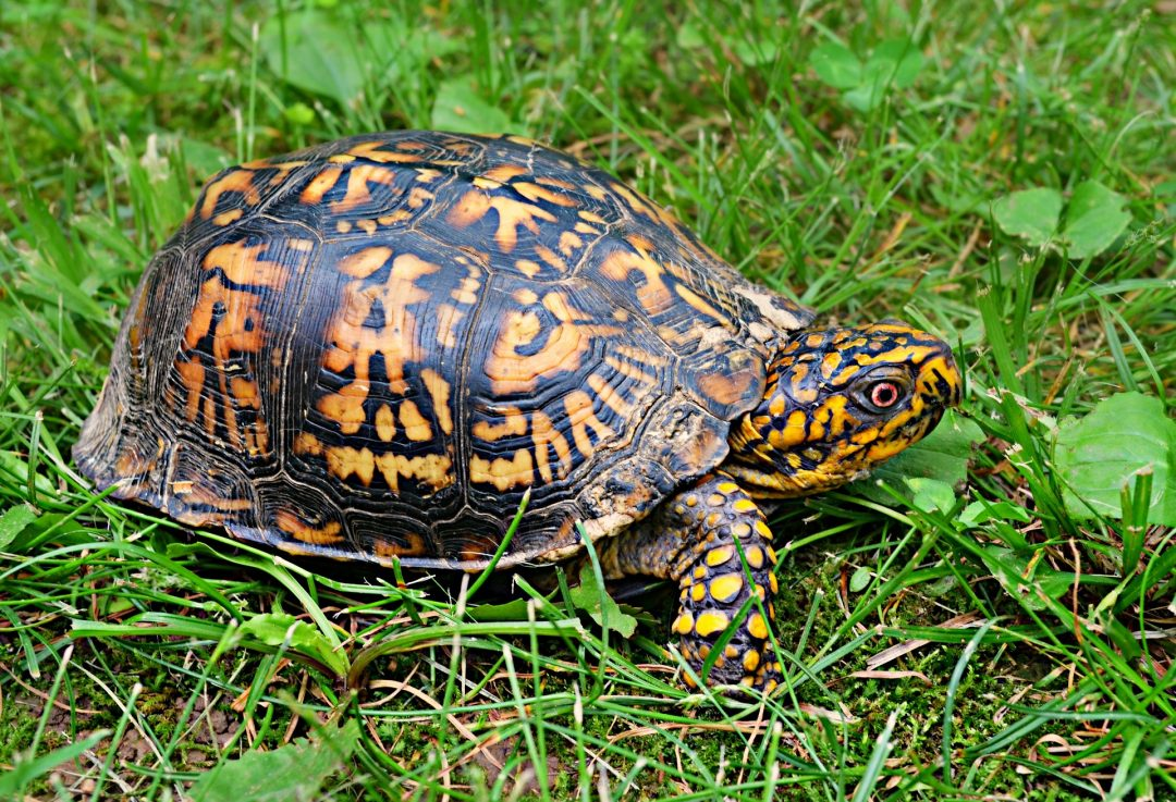 brown, yellow box turtle on the green grass