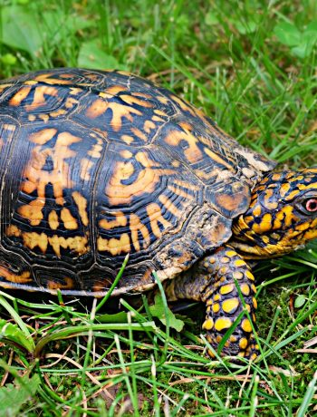 brown, yellow box turtle on green grass